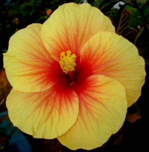 hibiscus-flowers-for-fast-hair-growth